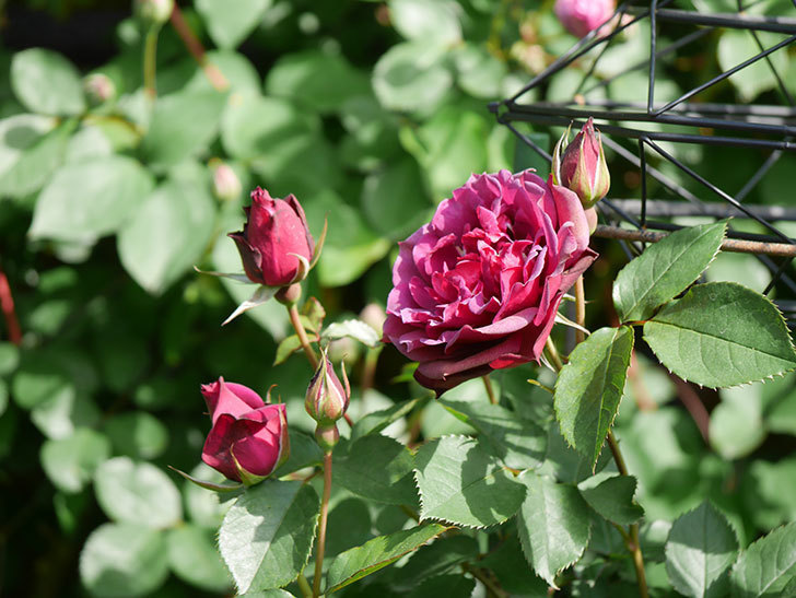 ライラ(Laylah)の花が増えてきた。半ツルバラ。2021年-017.jpg