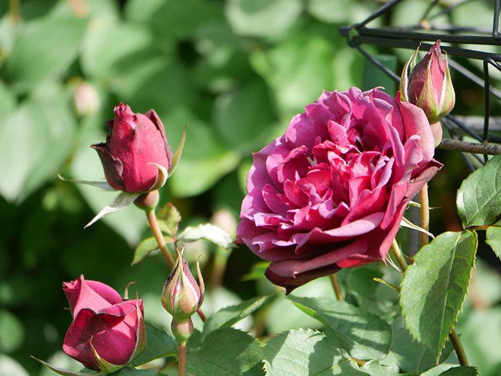 ライラ(Laylah)の花が増えてきた。半ツルバラ。2021年-018.jpg