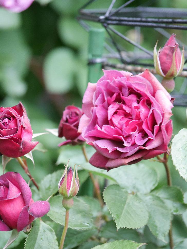 ライラ(Laylah)の花が増えてきた。半ツルバラ。2021年-020.jpg