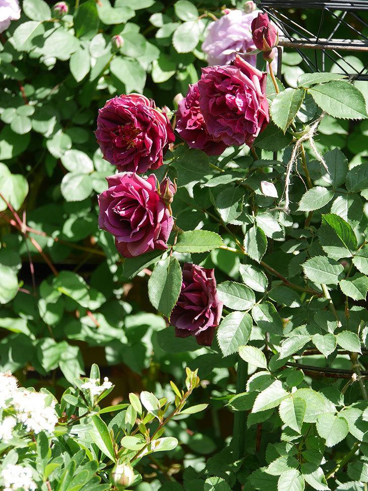 ライラ(Laylah)の花が増えてきた。半ツルバラ。2021年-023.jpg