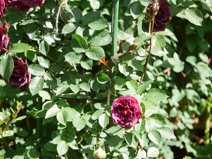 ライラ(Laylah)の花が増えてきた。半ツルバラ。2021年-025.jpg