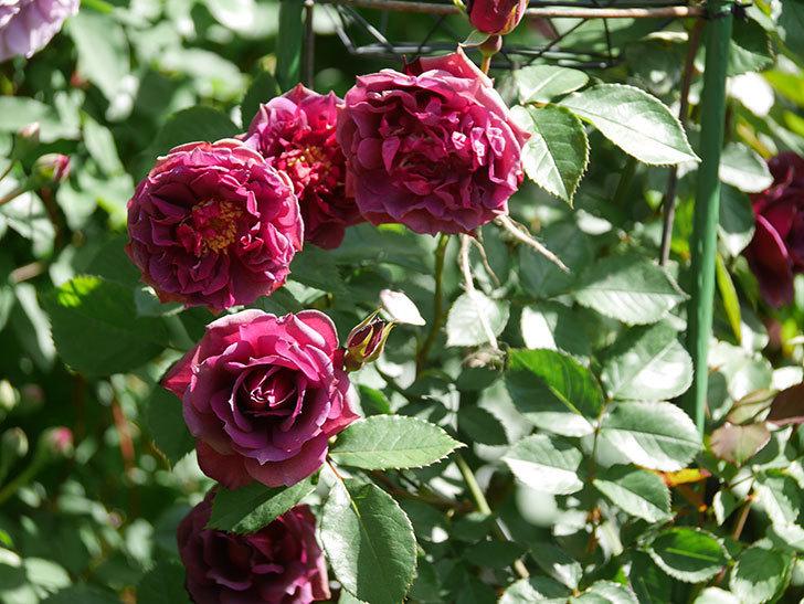 ライラ(Laylah)の花が増えてきた。半ツルバラ。2021年-027.jpg