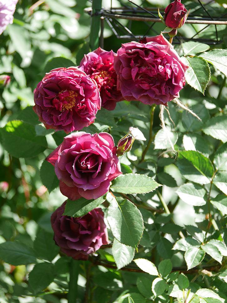 ライラ(Laylah)の花が増えてきた。半ツルバラ。2021年-030.jpg