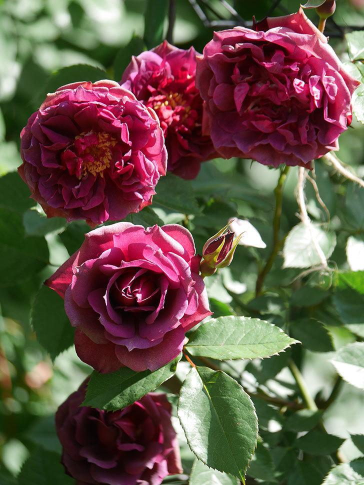 ライラ(Laylah)の花が増えてきた。半ツルバラ。2021年-033.jpg