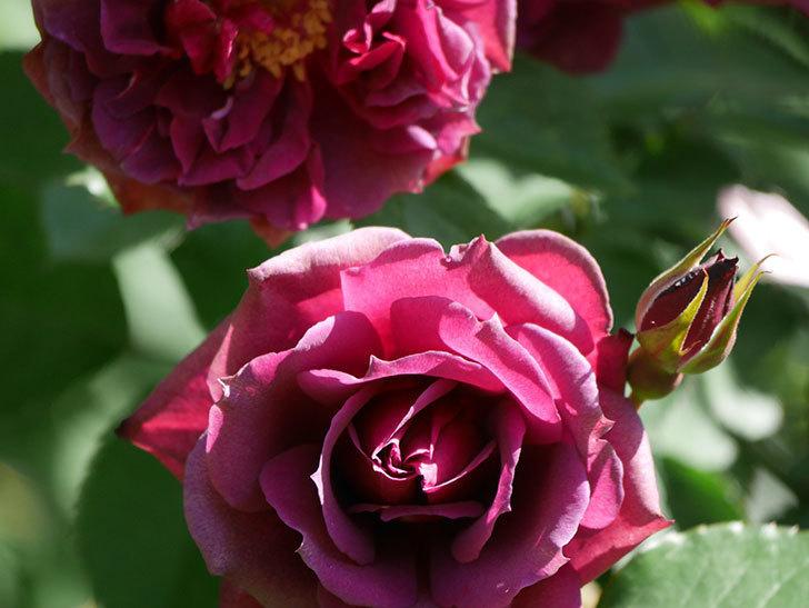 ライラ(Laylah)の花が増えてきた。半ツルバラ。2021年-036.jpg