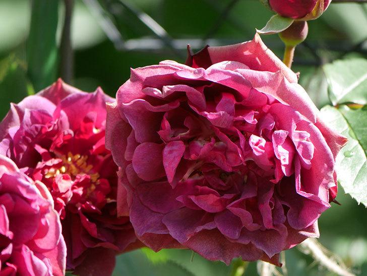 ライラ(Laylah)の花が増えてきた。半ツルバラ。2021年-038.jpg