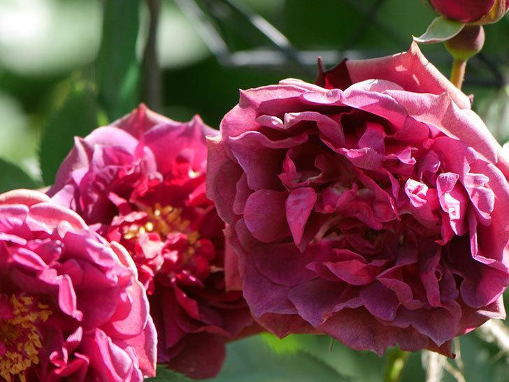 ライラ(Laylah)の花が増えてきた。半ツルバラ。2021年-039.jpg