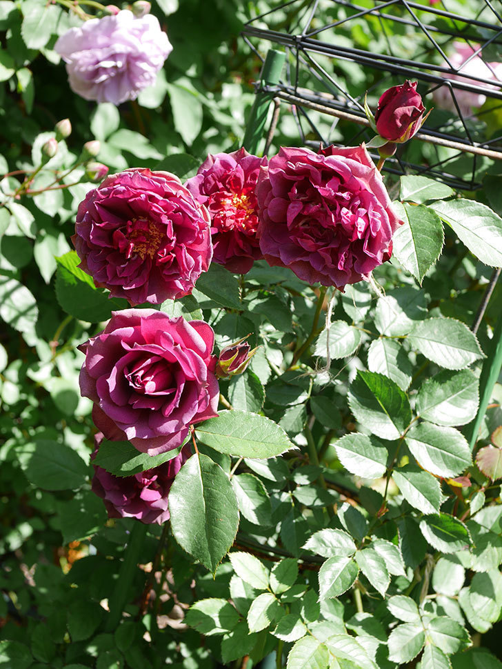 ライラ(Laylah)の花が増えてきた。半ツルバラ。2021年-040.jpg
