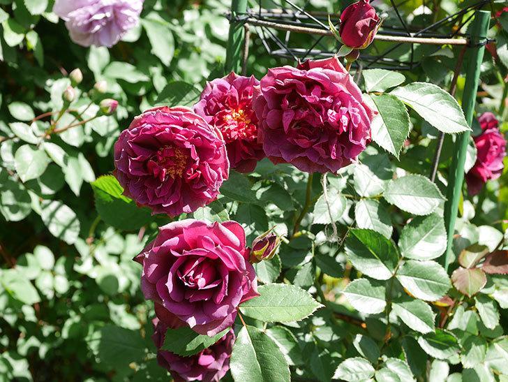 ライラ(Laylah)の花が増えてきた。半ツルバラ。2021年-041.jpg