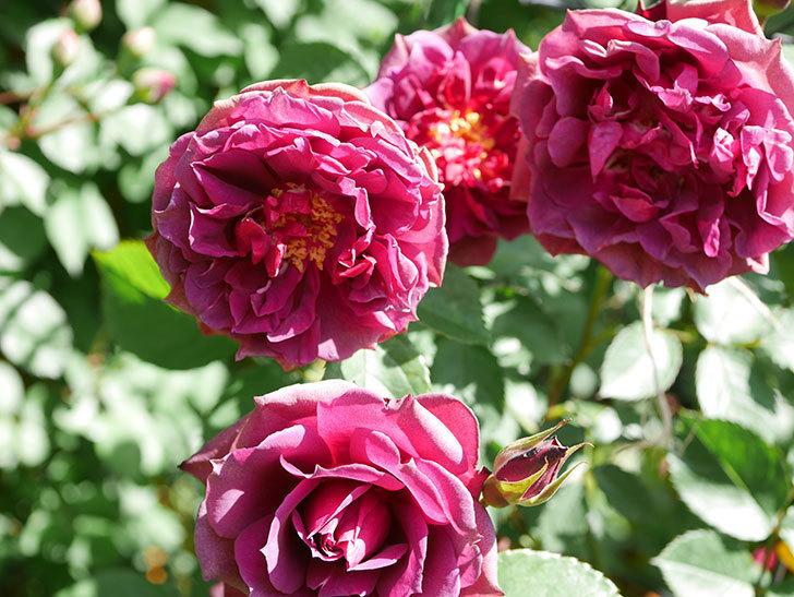 ライラ(Laylah)の花が増えてきた。半ツルバラ。2021年-042.jpg