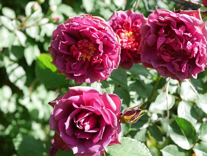 ライラ(Laylah)の花が増えてきた。半ツルバラ。2021年-043.jpg