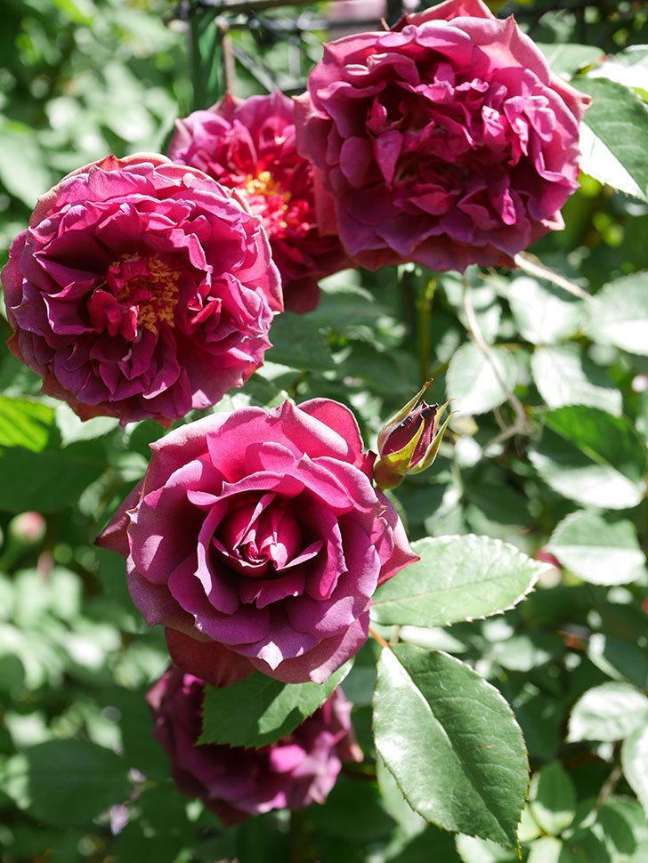 ライラ(Laylah)の花が増えてきた。半ツルバラ。2021年-044.jpg