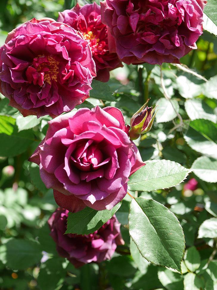 ライラ(Laylah)の花が増えてきた。半ツルバラ。2021年-045.jpg