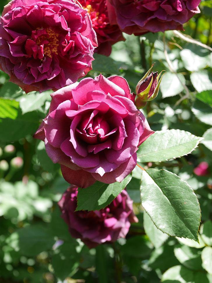 ライラ(Laylah)の花が増えてきた。半ツルバラ。2021年-046.jpg