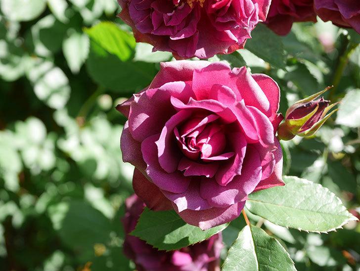 ライラ(Laylah)の花が増えてきた。半ツルバラ。2021年-047.jpg