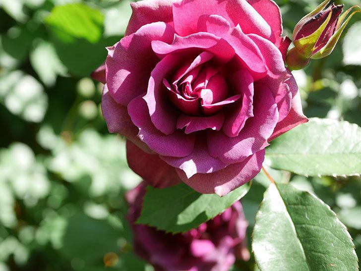 ライラ(Laylah)の花が増えてきた。半ツルバラ。2021年-048.jpg