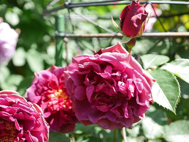 ライラ(Laylah)の花が増えてきた。半ツルバラ。2021年-049.jpg