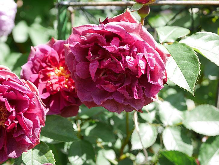 ライラ(Laylah)の花が増えてきた。半ツルバラ。2021年-050.jpg