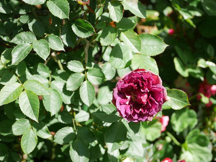 ライラ(Laylah)の花が増えてきた。半ツルバラ。2021年-051.jpg