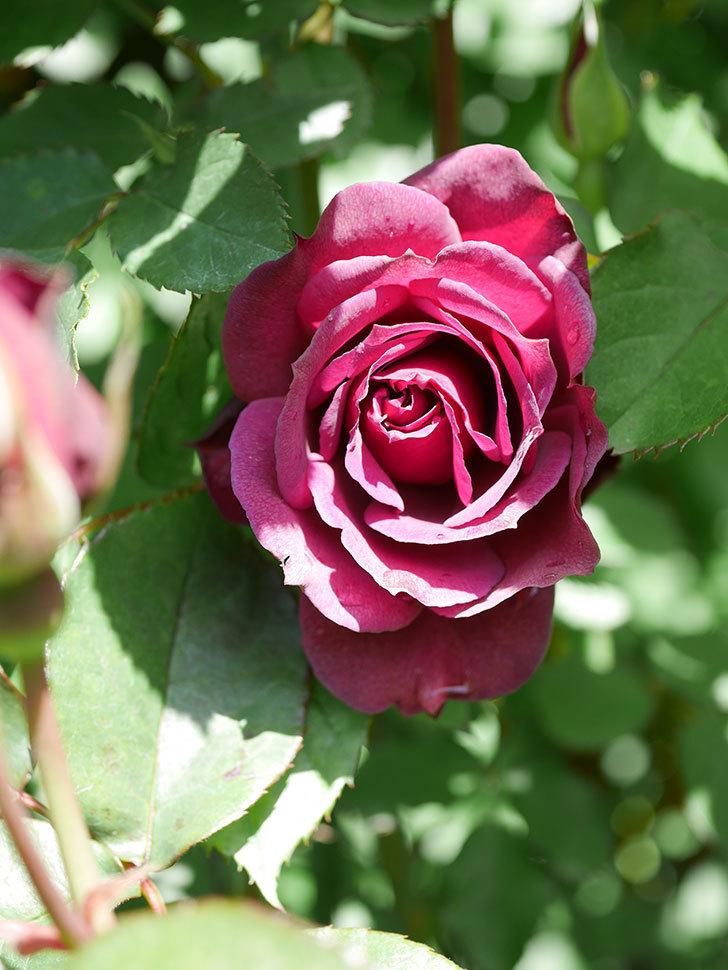 ライラ(Laylah)の花が増えてきた。半ツルバラ。2021年-054.jpg