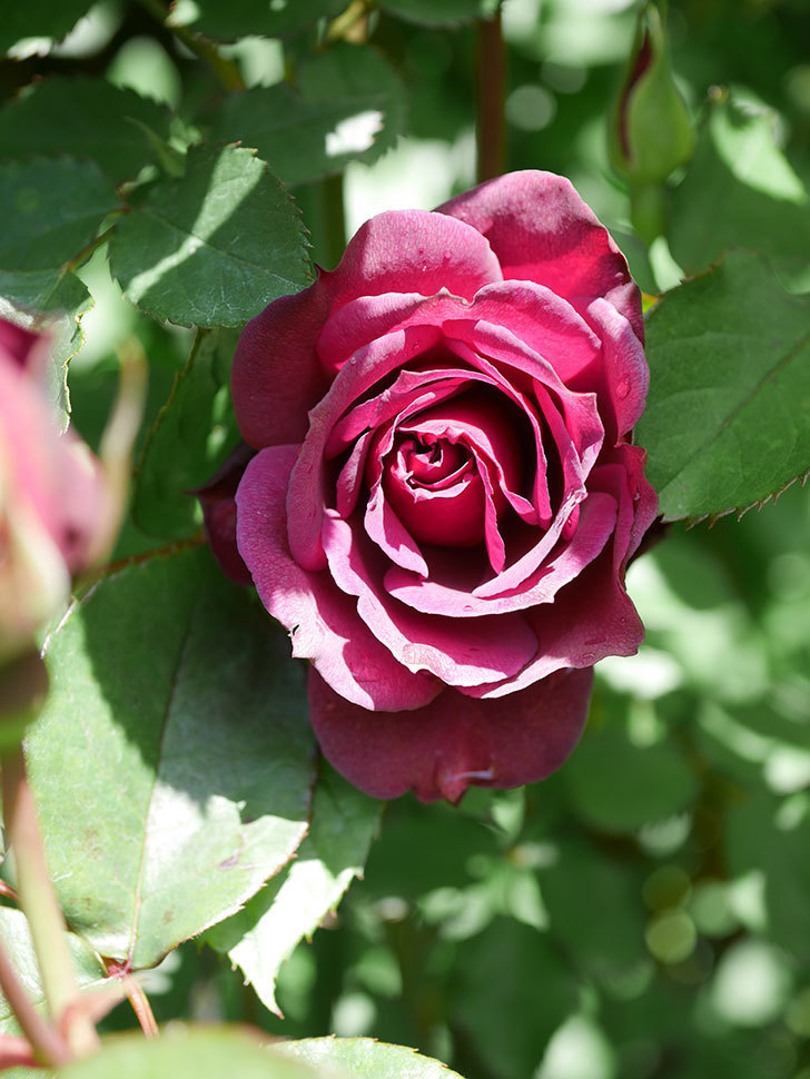 ライラ(Laylah)の花が増えてきた。半ツルバラ。2021年-055.jpg