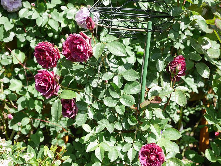 ライラ(Laylah)の花が増えてきた。半ツルバラ。2021年-057.jpg