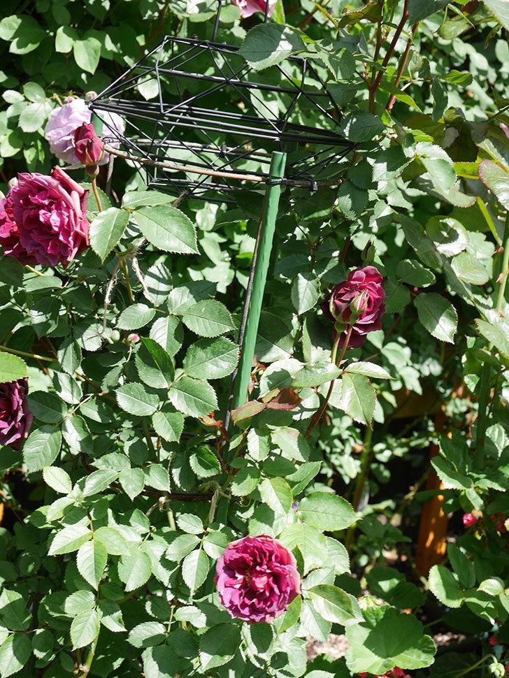 ライラ(Laylah)の花が増えてきた。半ツルバラ。2021年-058.jpg