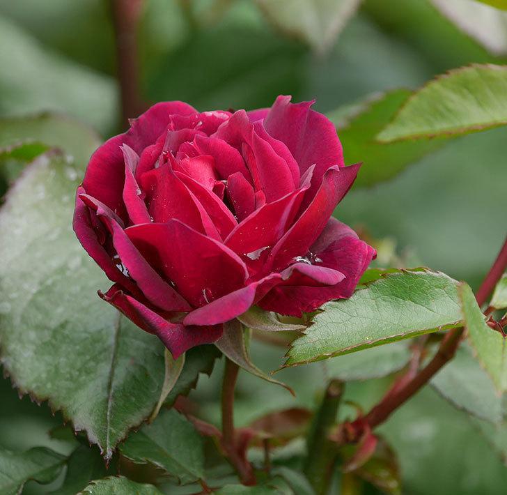 ライラ(半ツルバラ)に2個目の花が咲いた。2020年-1.jpg