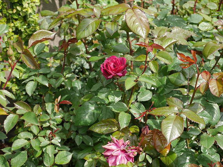 ライラ(半ツルバラ)に2個目の花が咲いた。2020年-10.jpg