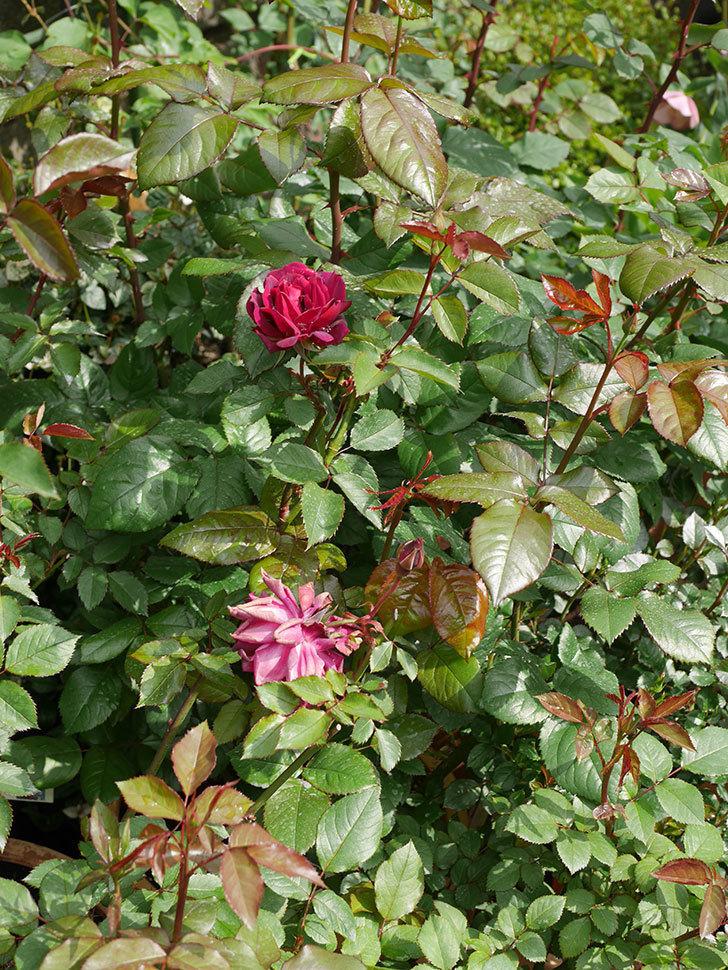 ライラ(半ツルバラ)に2個目の花が咲いた。2020年-11.jpg