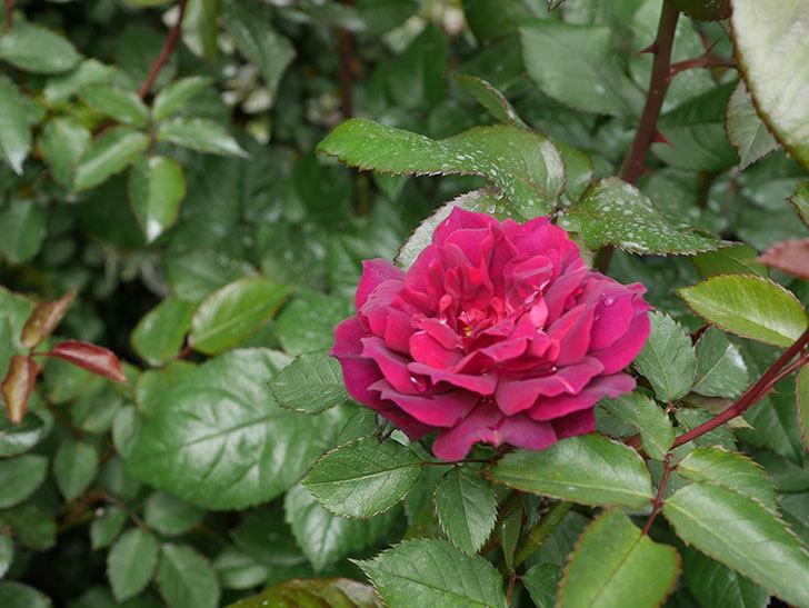 ライラ(半ツルバラ)に2個目の花が咲いた。2020年-12.jpg