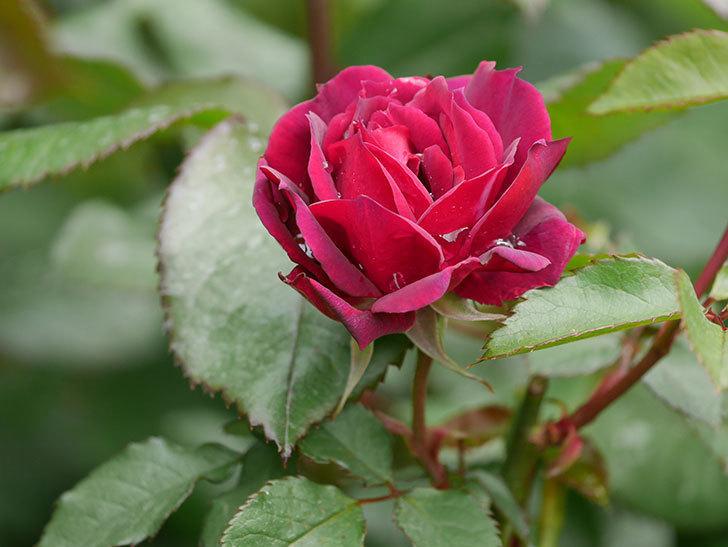 ライラ(半ツルバラ)に2個目の花が咲いた。2020年-2.jpg