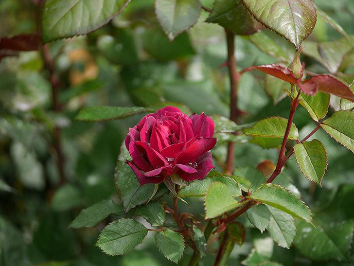 ライラ(半ツルバラ)に2個目の花が咲いた。2020年-5.jpg