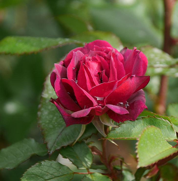 ライラ(半ツルバラ)に2個目の花が咲いた。2020年-6.jpg