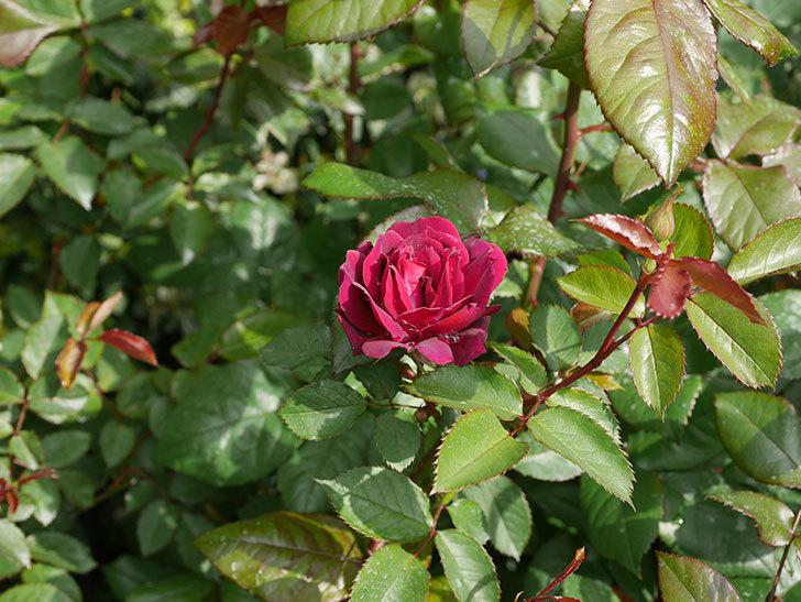 ライラ(半ツルバラ)に2個目の花が咲いた。2020年-7.jpg