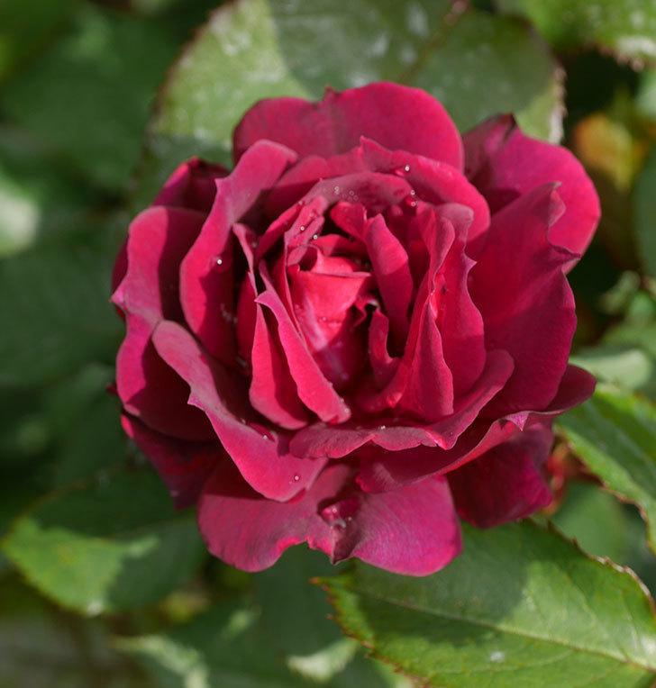 ライラ(半ツルバラ)に2個目の花が咲いた。2020年-8.jpg