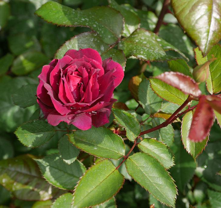 ライラ(半ツルバラ)に2個目の花が咲いた。2020年-9.jpg