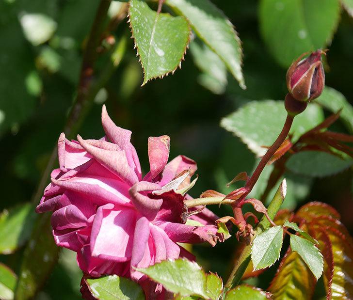 ライラ(半ツルバラ)の2個目の花が咲きだした。2020年-4.jpg