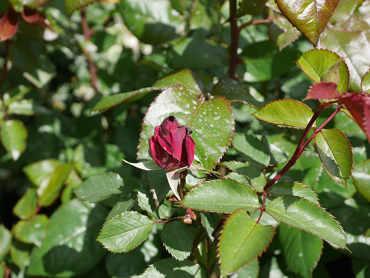 ライラ(半ツルバラ)の2個目の花が咲きだした。2020年-5.jpg