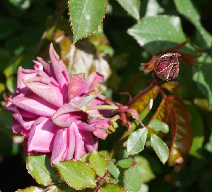 ライラ(半ツルバラ)の2個目の花が咲きだした。2020年-7.jpg