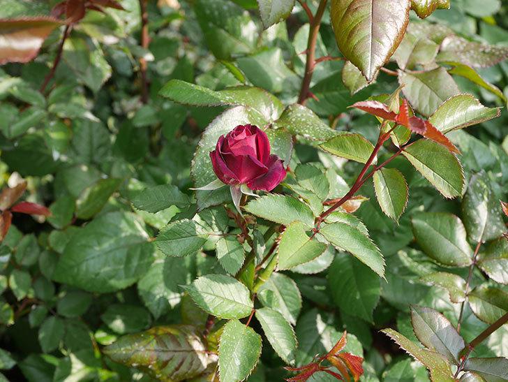 ライラ(半ツルバラ)の2個目の花が開いて来た。2020年-2.jpg