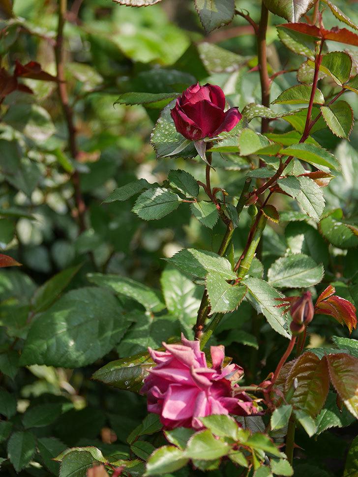 ライラ(半ツルバラ)の2個目の花が開いて来た。2020年-6.jpg