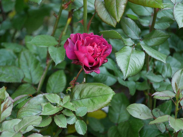 ライラ(半ツルバラ)の3個目の花が咲いた。2020年-1.jpg