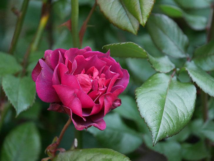 ライラ(半ツルバラ)の3個目の花が咲いた。2020年-2.jpg