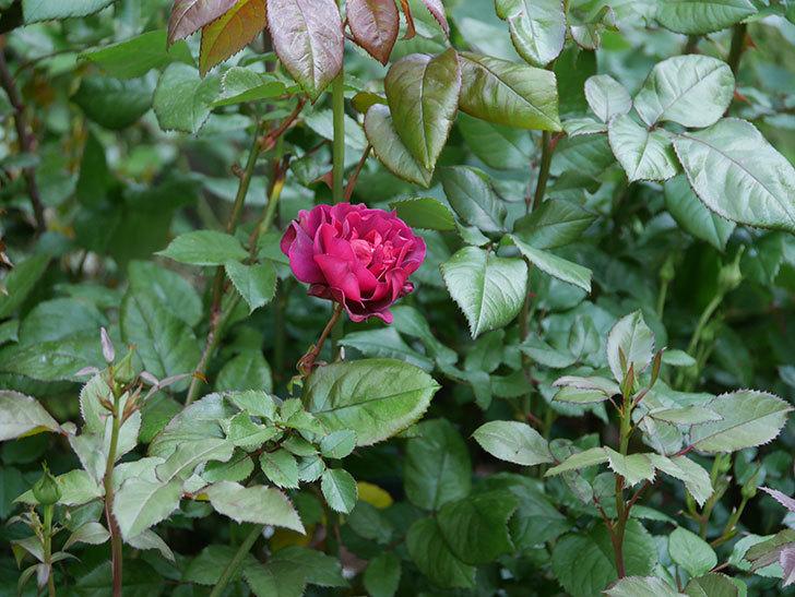 ライラ(半ツルバラ)の3個目の花が咲いた。2020年-4.jpg