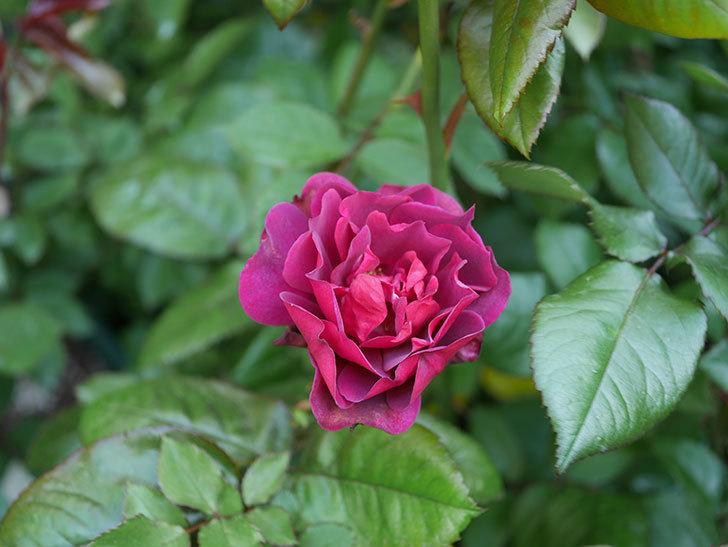 ライラ(半ツルバラ)の3個目の花が咲いた。2020年-5.jpg