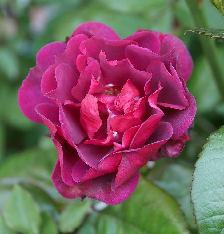 ライラ(半ツルバラ)の3個目の花が咲いた。2020年-6.jpg