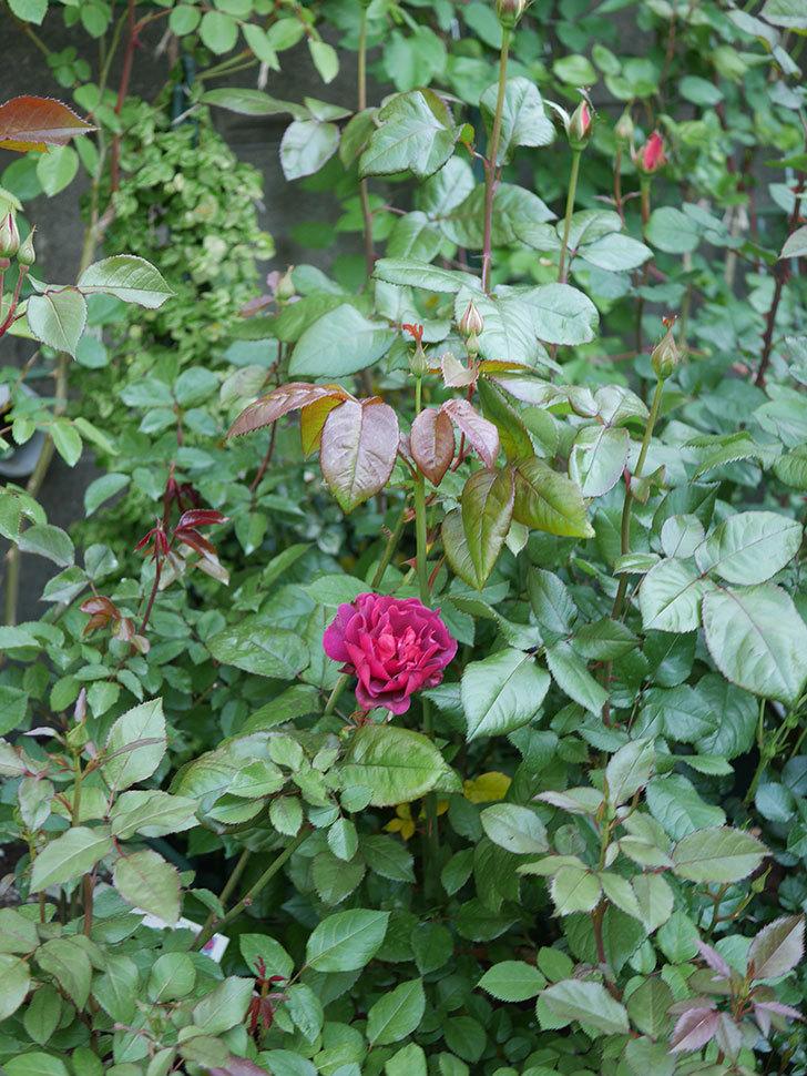 ライラ(半ツルバラ)の3個目の花が咲いた。2020年-7.jpg