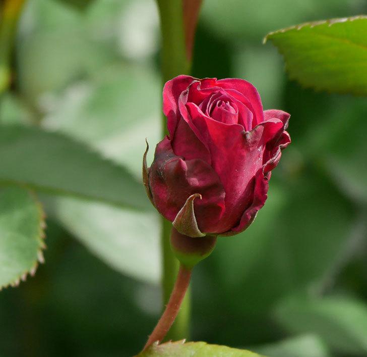 ライラ(半ツルバラ)の3個目の花が咲きだした。2020年-1.jpg