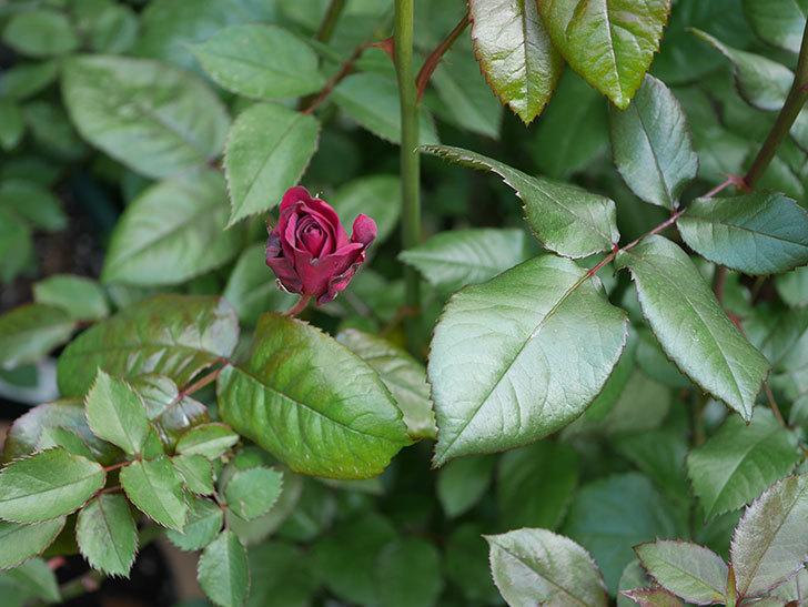 ライラ(半ツルバラ)の3個目の花が咲きだした。2020年-3.jpg